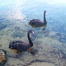 Swans Three July 2015 by Robert Phillips
