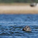 Grey Seal Curiosity by kernuak