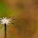 Asterid Flower Head by kernuak