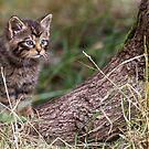 Wild Cat Kitten by Peter Denness