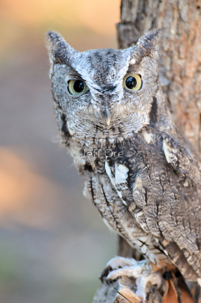 Quot Eastern Screech Owl Quot Grey Phase Quot Quot By Jeff Ore Redbubble