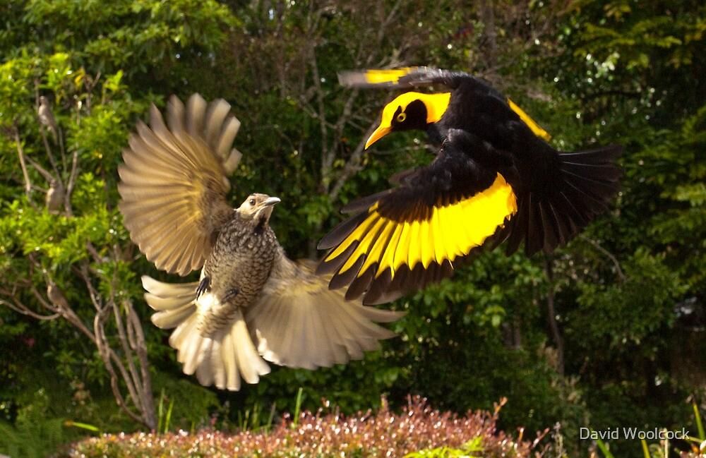 Pair of Regent Bower Birds, Lamington NP,Australia by David Woolcock