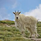 Colorado Mountain Goat by Reese Ferrier