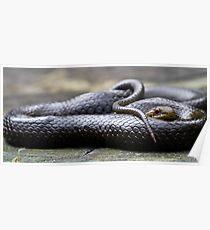 Black-Bellied Swamp Snake, Hemiaspis signata Poster
