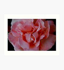 Pink Rose in Full Bloom. Art Print