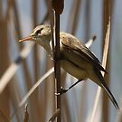 Reed Warbler by Gary  Davey (Jordy)