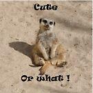 Meerkat by daveashwin