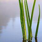 Reeds by Andrey Kudinov