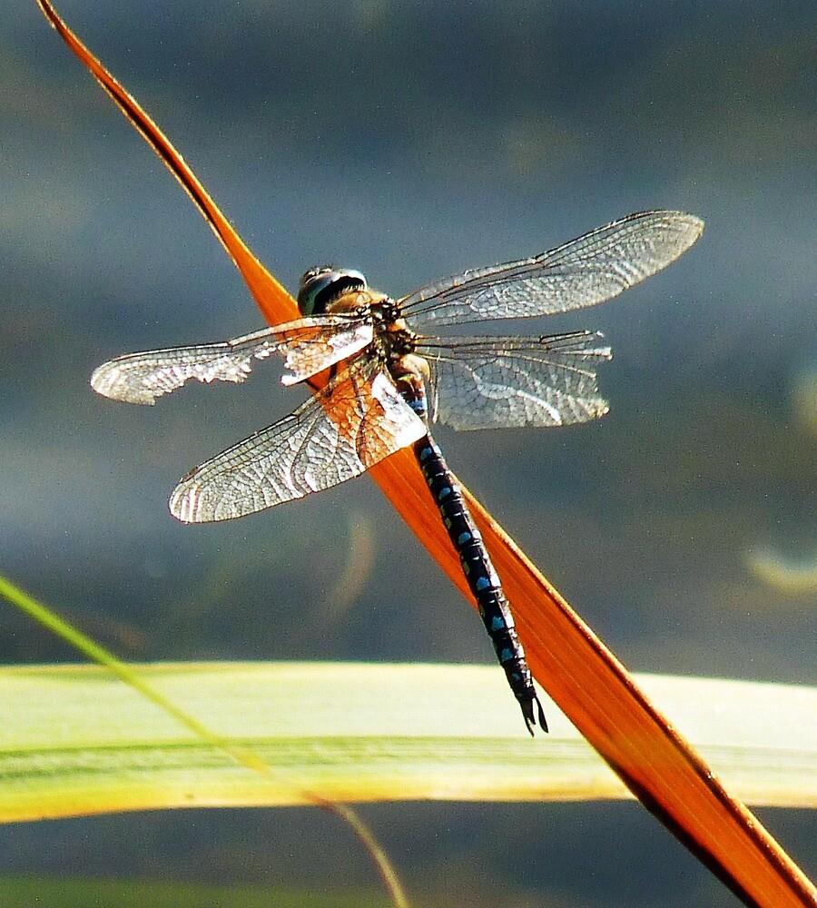 Emperor Dragonfly by artfulvistas