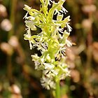 White Fringed Orchid by Kathleen Daley