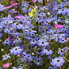 Pretty Blue Daisies by Susan Moss
