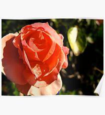 Overjoyed Rose Poster