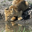 Ximungwe cub having a drink(Who is that looking at me?) by Anthony Goldman