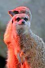 Mischievous Meerkats by Extraordinary Light