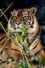 Sumatran Tiger by Extraordinary Light