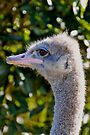 Inquisitive Ostrich by Extraordinary Light