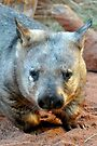 Wombat by Renee Hubbard Fine Art Photography