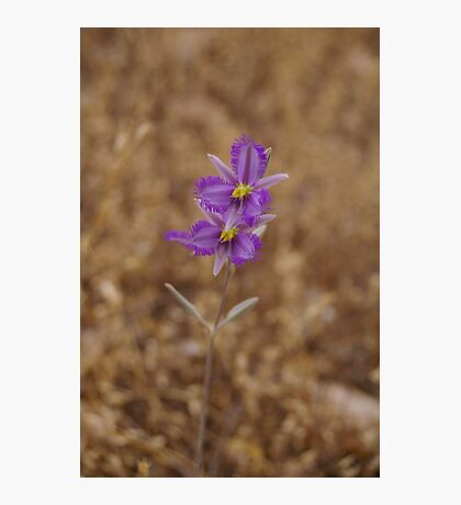 Fringed Lily Photographic Print