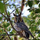 Long Eared Owl by Jody Johnson