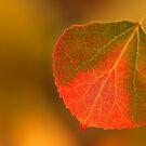Aspen Leaf by Steve  Taylor