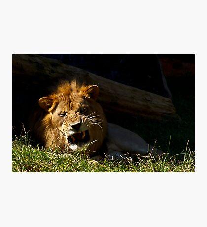 Ferocious Lion! Photographic Print