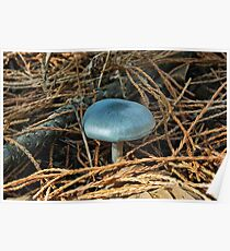 Clitocybe odora  /   Aniseed Toadstool Poster