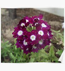 Phlox - Flowering Annual Poster