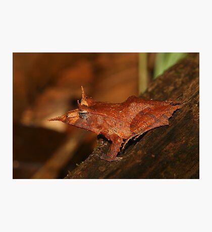 Solomon Eyelash Frog Photographic Print