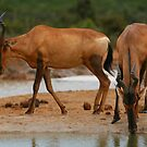 Hartebeest at Waterhole by naturalnomad