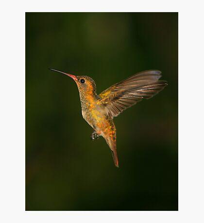 Male Gilded Hummingbird Photographic Print