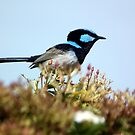 Male Fairy Wren by Bernie Stronner