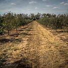 Apple Trees by Eric Scott Birdwhistell