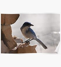 Juvenile Pinion Blue Jay Poster
