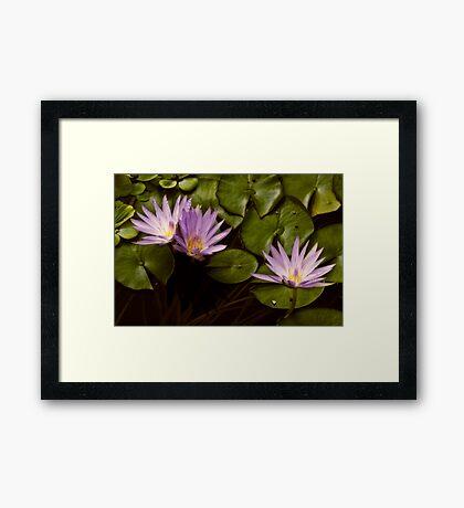 Lotus Blooms Framed Print