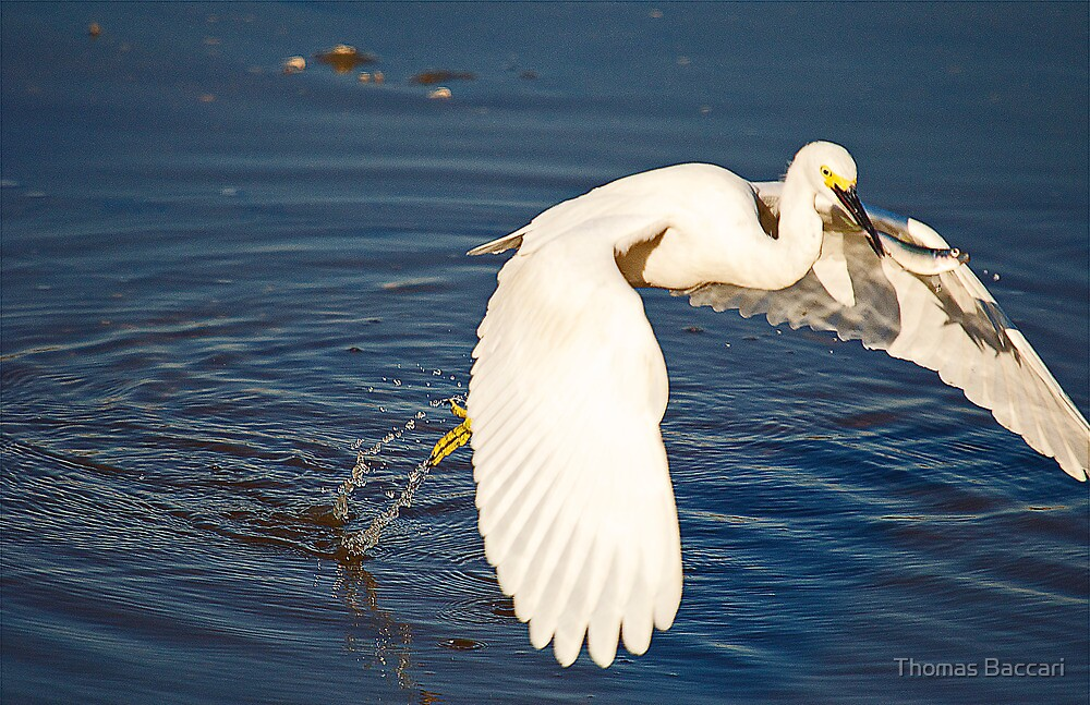 Flying Off With The Catch by TJ Baccari Photography