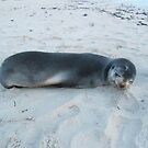 Sleeping Seal At A Local Beach by robertemerald