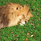 Sleeping Lion King by Nora Caswell