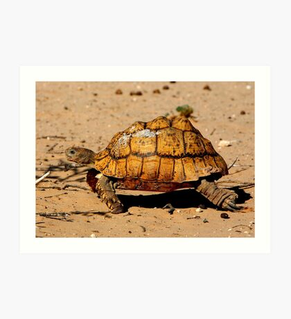 Slow And Steady Wins The Race - Leopard Tortoise Art Print