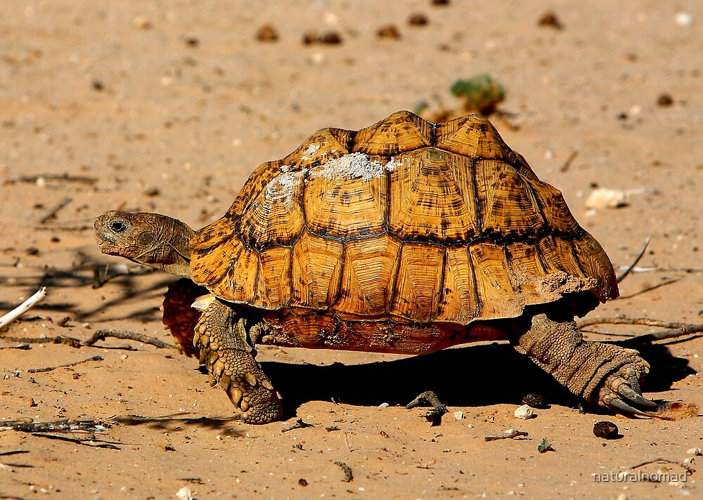Slow And Steady Wins The Race - Leopard Tortoise by naturalnomad