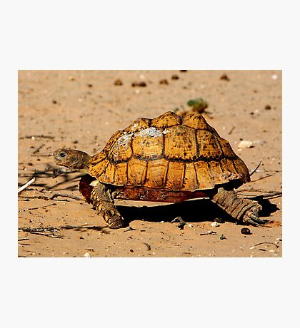Slow And Steady Wins The Race - Leopard Tortoise Photographic Print
