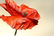 paper poppy by jade adams