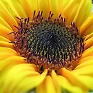 Sunflower in full bloom by georgiegirl