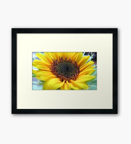 Sunflower in full bloom Framed Print