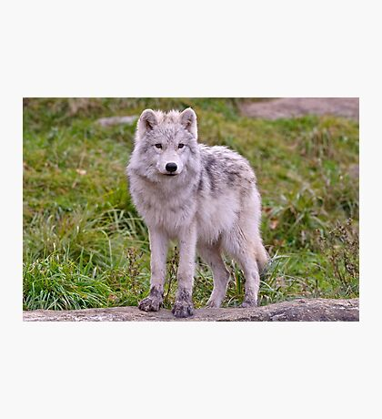 They're Growing - Arctic Wolf Pups  Photographic Print