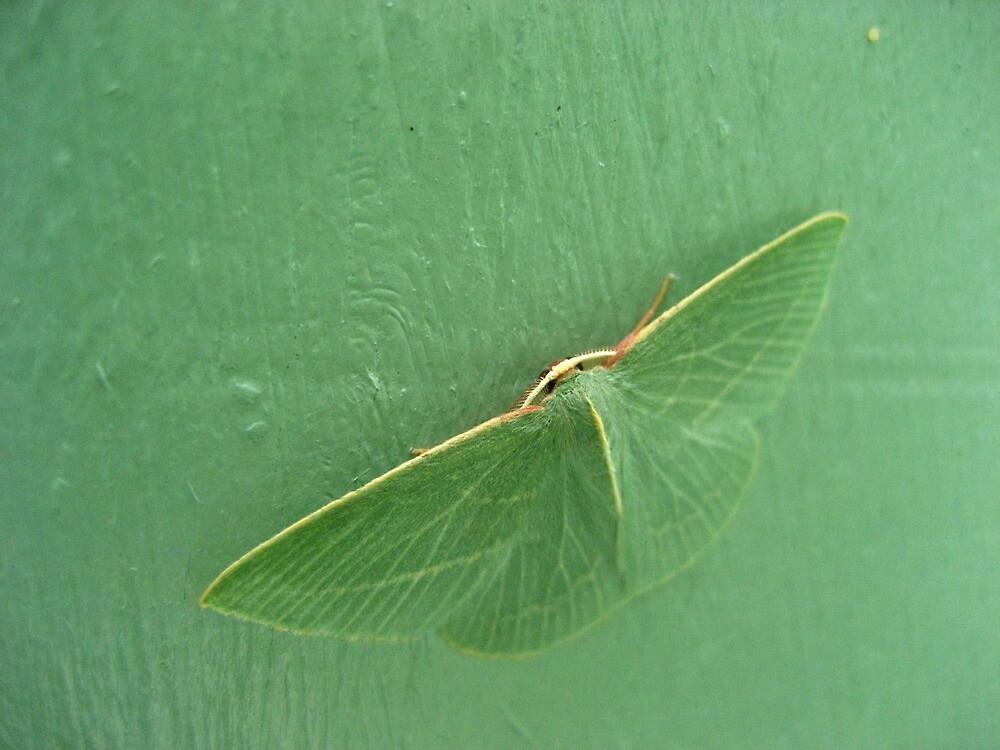Green moth on a green door by Adele Nash