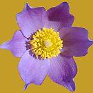 «Flor de pasque» de Whisperingpeaks