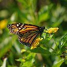 Monarch by tonymarsh