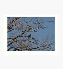 Bald Eagle (Haliaeetus leucocephalus Art Print