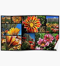 South African Daisy ~ Gazania Poster