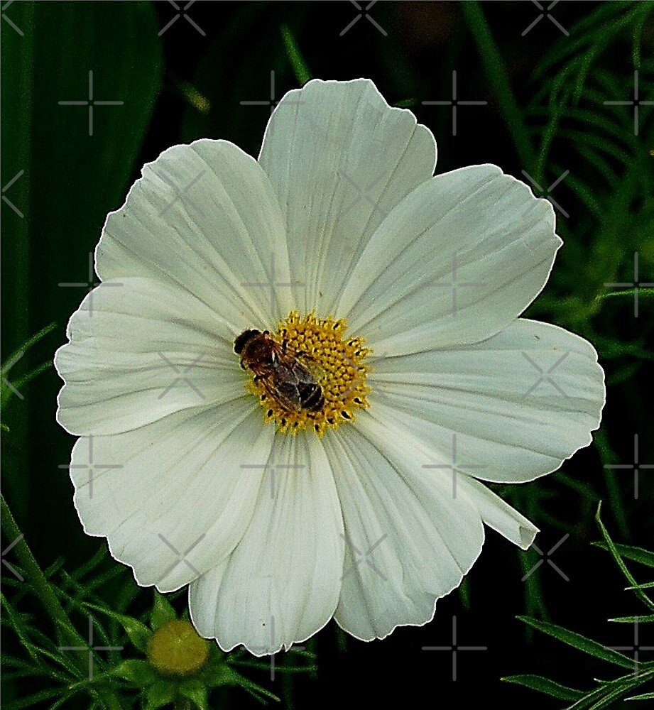 Bee on white cosmos by loiteke